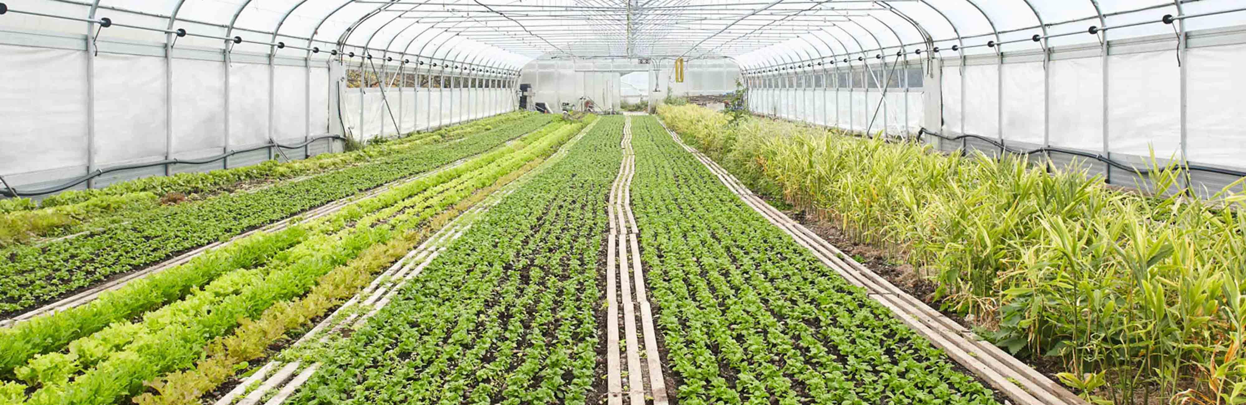 Demeterhof Funk - Gemüse in einem Gewächshaus